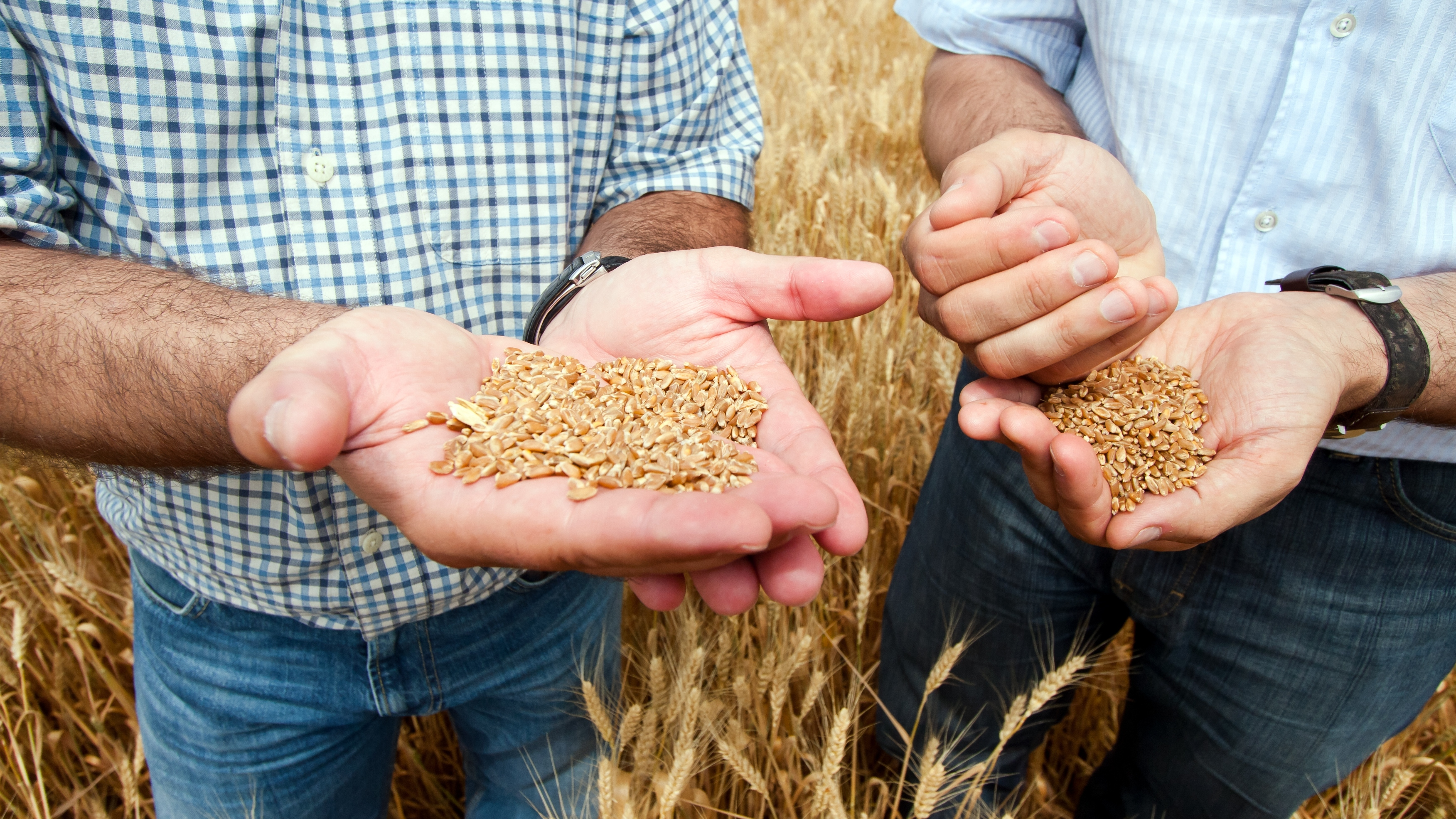Two farmers with a grain of wheat in his hands.